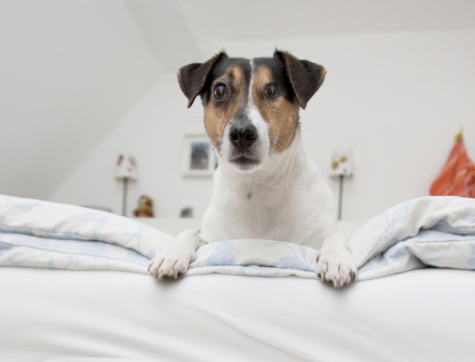 kurzmeldung ein floh bleibt nicht lange allein bundesverband f r tiergesundheit e v. Black Bedroom Furniture Sets. Home Design Ideas